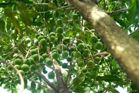 Cận cảnh cây 'tỷ đô' của Việt Nam