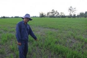 Hàng chục héc ta lúa chết non tại Tiền Giang: Do mặn hay phân?
